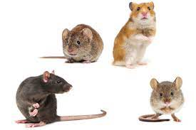Should Avoid Handling Rodent Problems